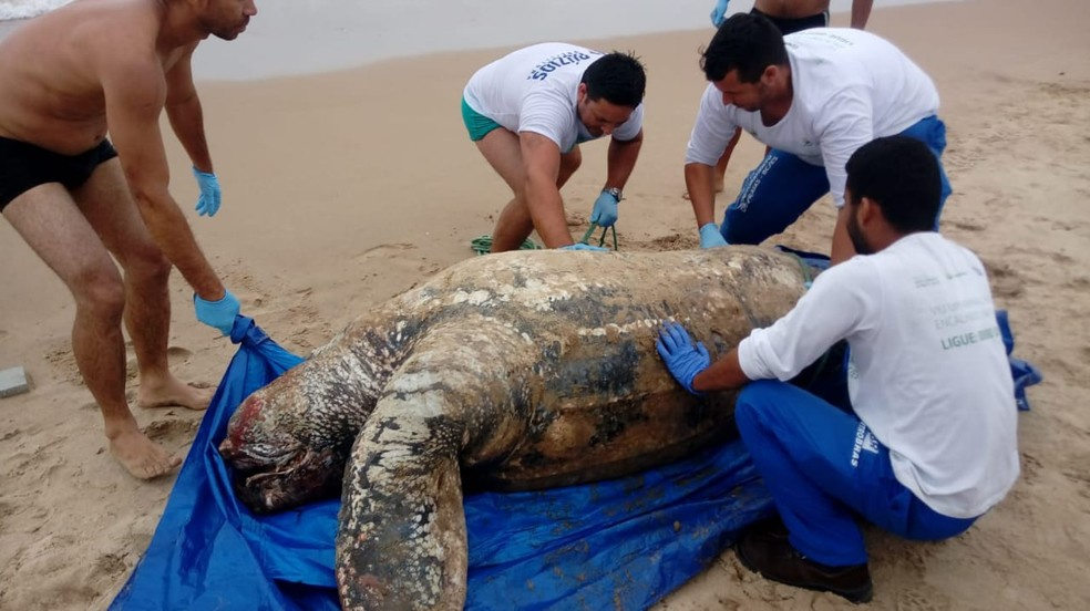 Foram necessários 10 homens para tirar o animal da areia em Búzios, no RJ  — Foto: Guarda Marítima Ambiental/Divulgação
