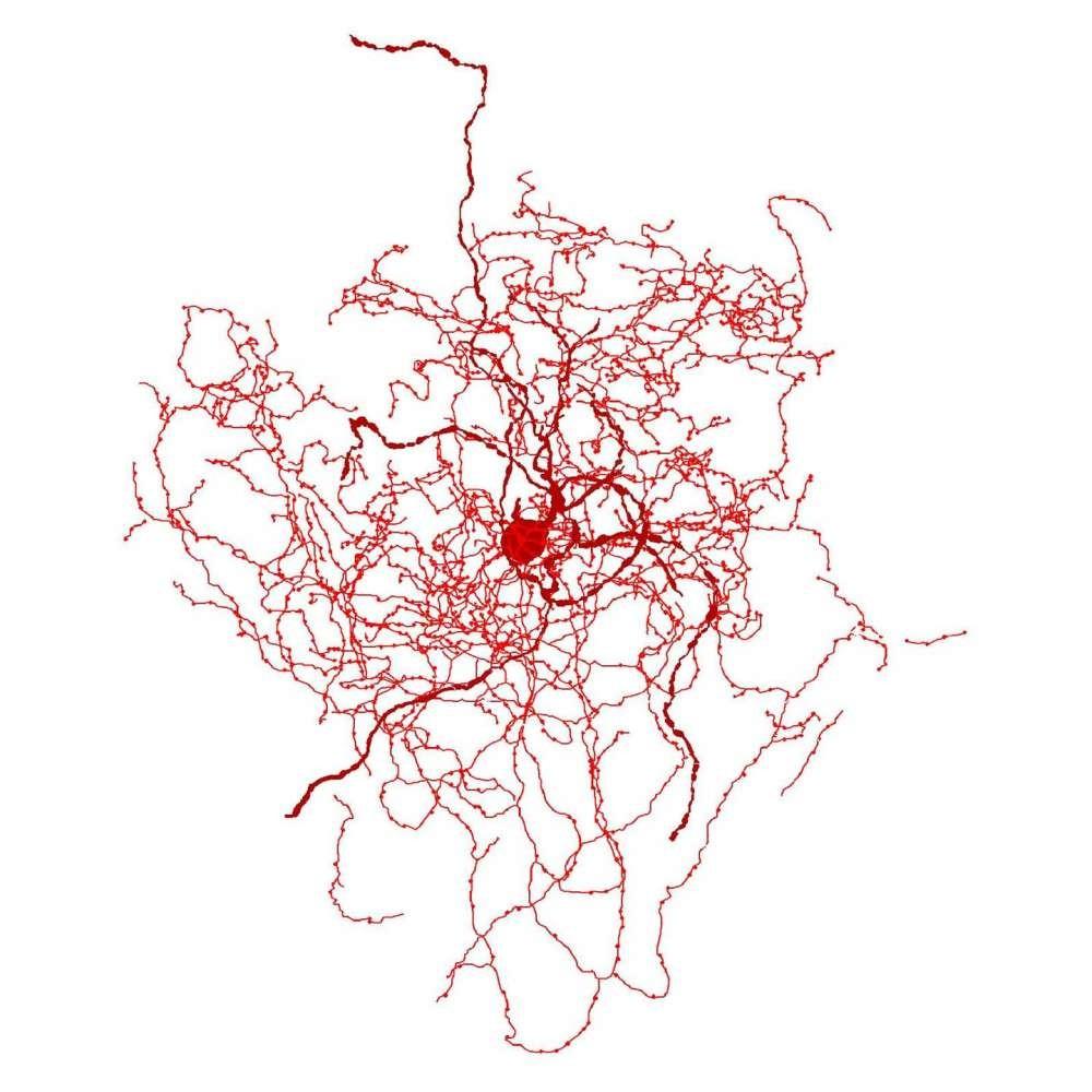Reprodução do novo neurônio descoberto (Foto: Divulgação/University de Szeged)