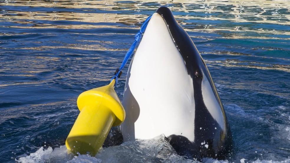 Wikie, uma fêmea orca de 16 anos, foi ensinada a imitar palavras em inglês e contar até 3  (Foto: Marineland via BBC)