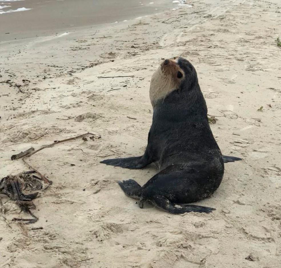 Lobo-marinho-subantártico foi encontrado na praia do Moçambique neste domingo — Foto: Regina Reis/R3 Animal