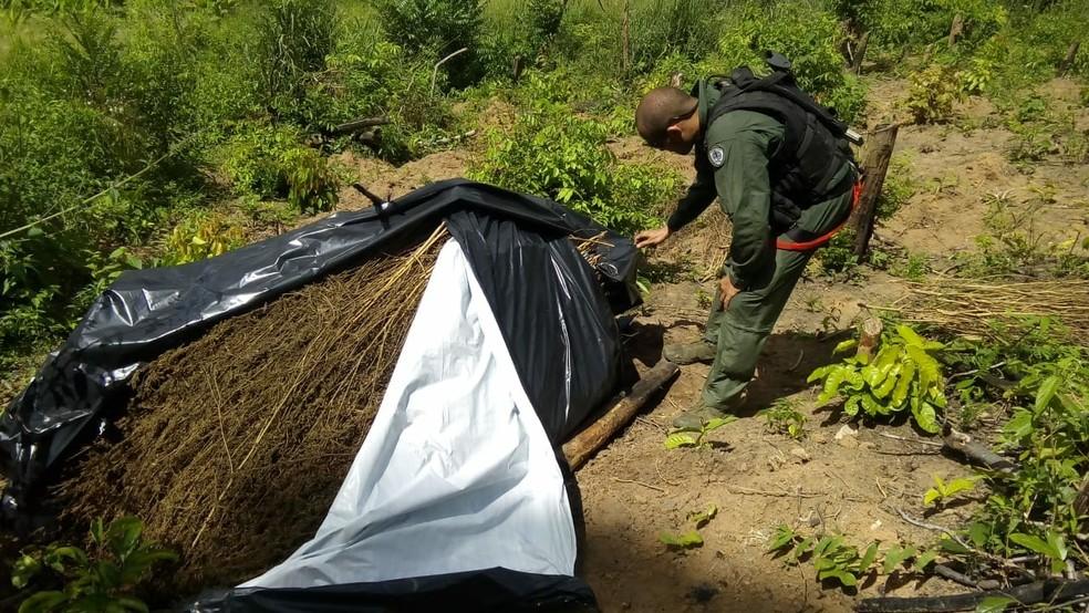 Policiais arrancaram droga plantada na cidade de Santa Luzia (Foto: Divulgação/Polícia Civil)