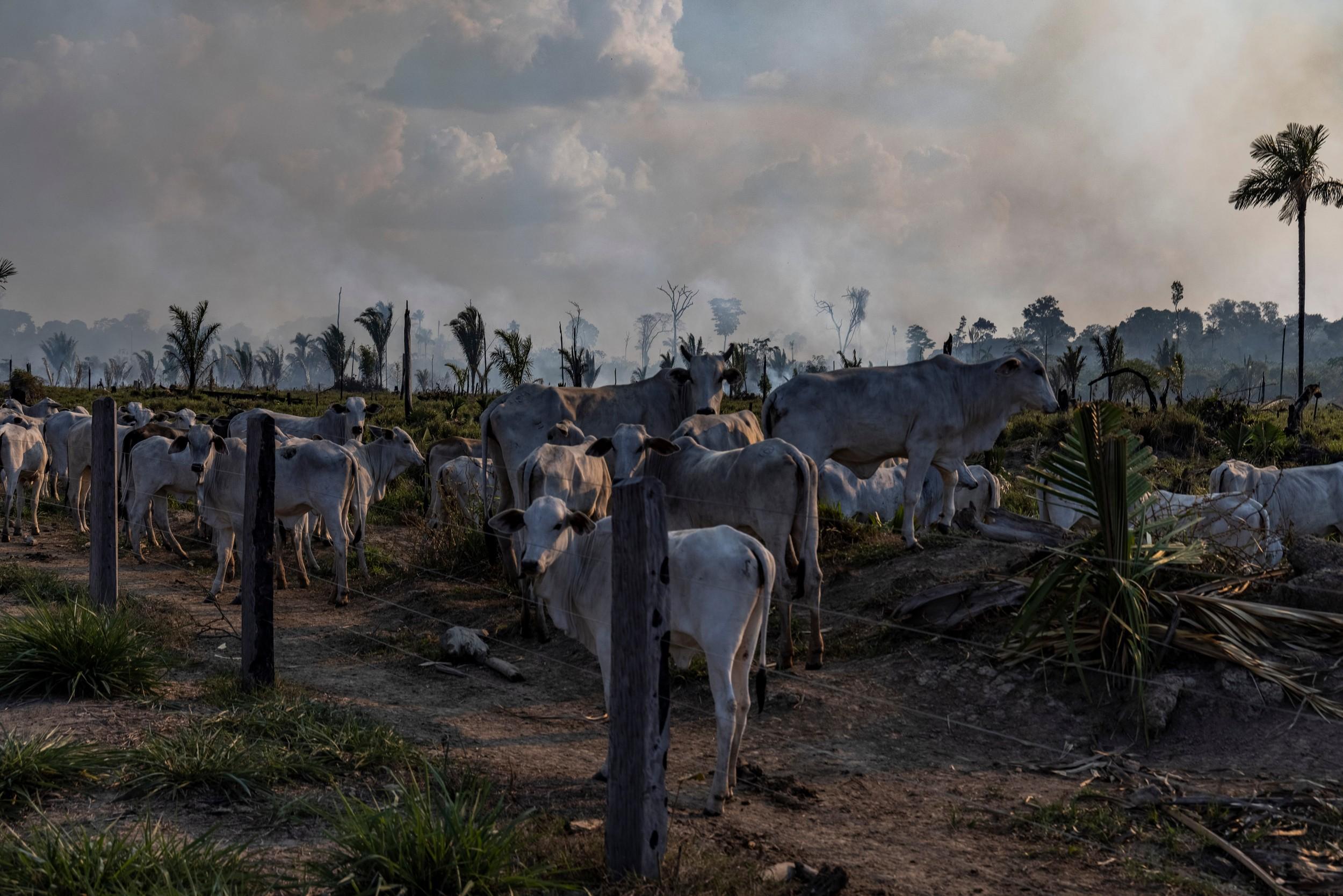 Gado em pastagem, ao lado de área desmatada e recém queimada, em Candeias do Jamari, Rondônia. (Foto: Victor Moriyama / Amazônia em Chamas)