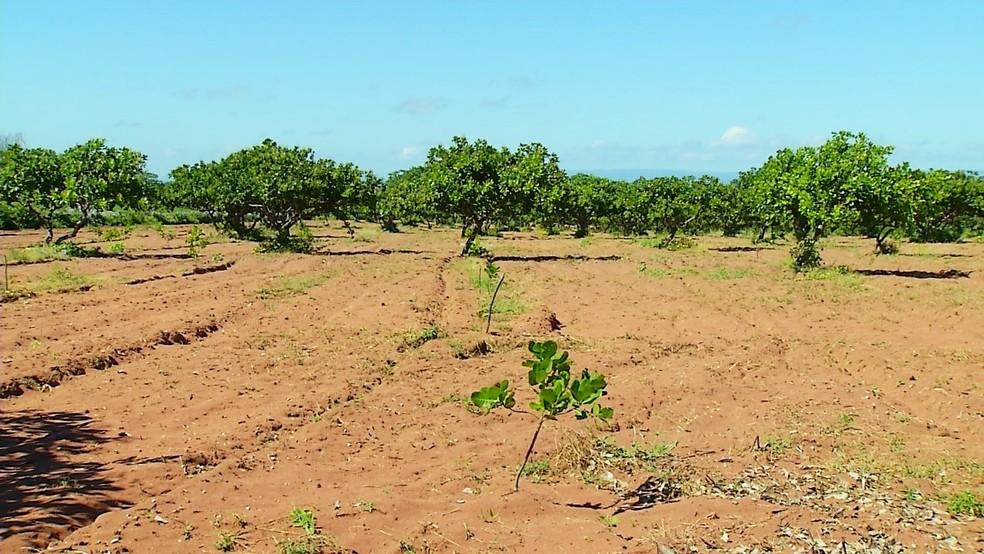 Severiano Melo é conhecido no estado como a 'Terra do Caju' - título que ganhou pelo destaque na produção de caju e castanha ao longo dos anos (Foto: Inter TV Costa Branca/Reprodução )