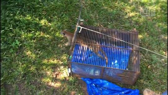 Onça capturada em Cascavel é solta em área de preservação ambiental; vídeo