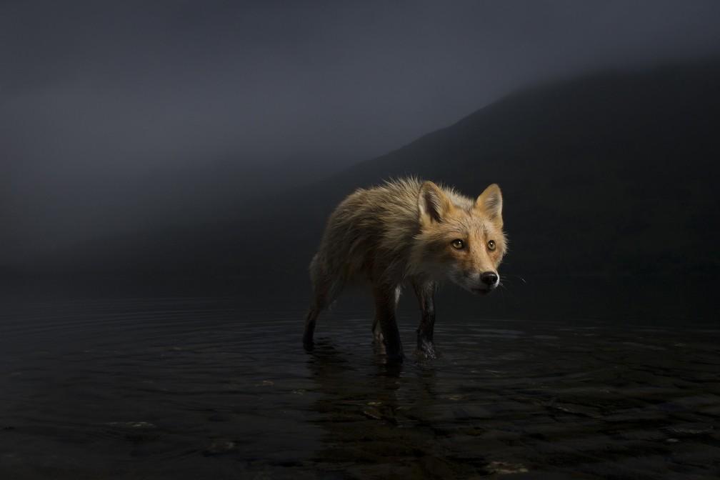'Raposa da tempestade', por Jonny Armstrong, EUA. A raposa estava ocupada procurando na parte rasa por carcaças de salmão. Na beira da água, Jonny estava deitado de bruços, mirando em um ângulo baixo e amplo. O animal era uma das duas únicas raposas vermelhas na pequena ilha no Lago Karluk, na Ilha Kodiak do Alasca — Foto: Jonny Armstrong/Wildlife Photographer of the Year