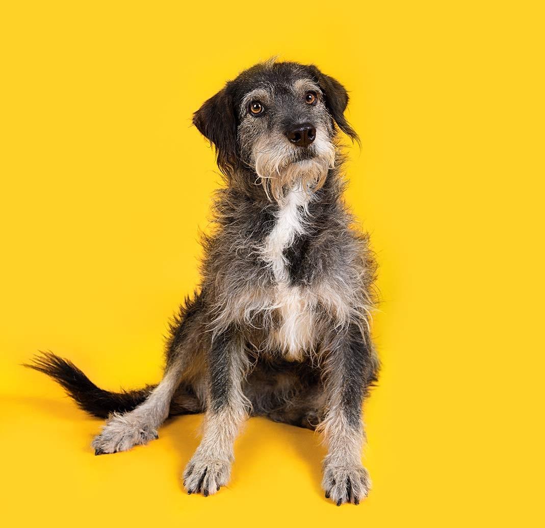 """""""E aí, moçada! Eu sou o Xinauzer. Minha história é meio triste, mas eu já tô SHOW"""", diz a descrição de cachorro disponível para adoção.(Foto: Busca Dogues/ Divulgação)"""