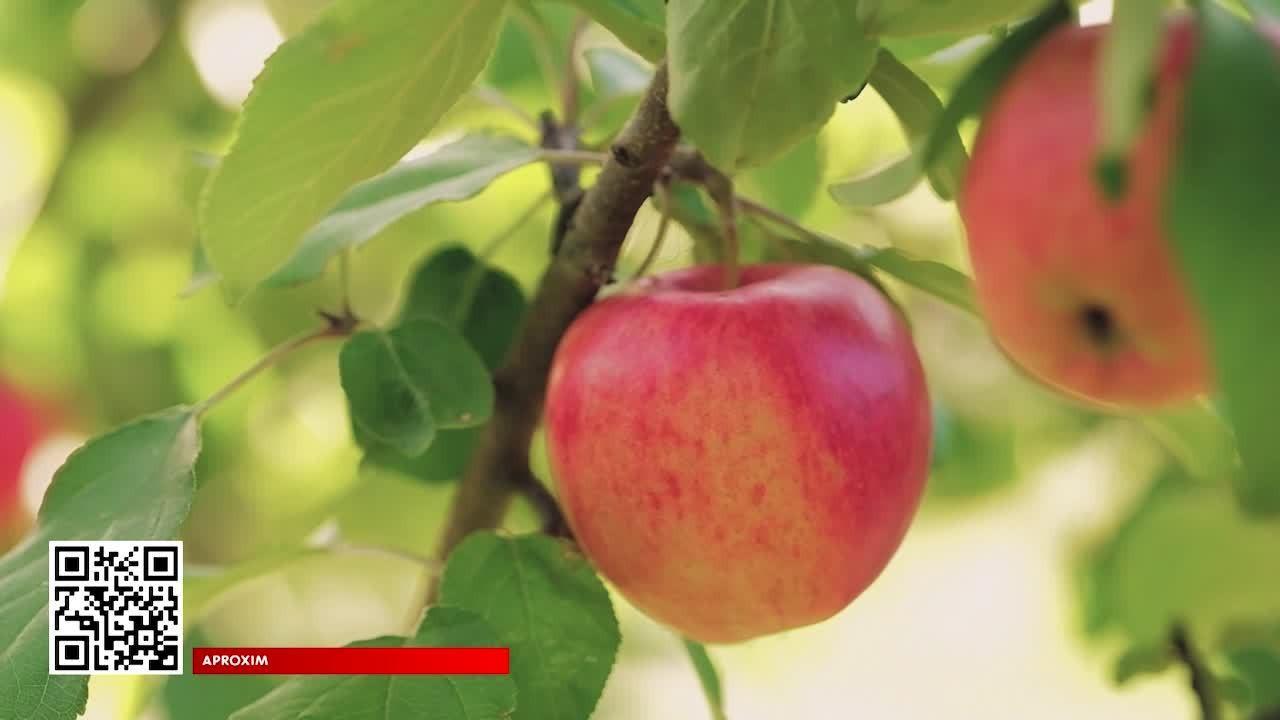 Maçã é rica em nutrientes e está nos doces, sucos e cosméticos