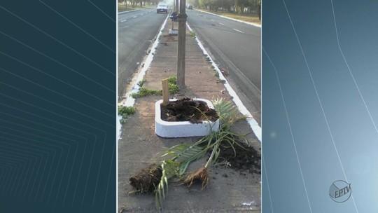 Palmeiras plantadas por estudantes são arrancadas e ficam destruídas em Rio Claro