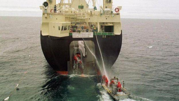 A captura das baleias com fins científicos é vista por alguns como uma maneira de o país driblar a proibição à caça comercial (Foto: PA)