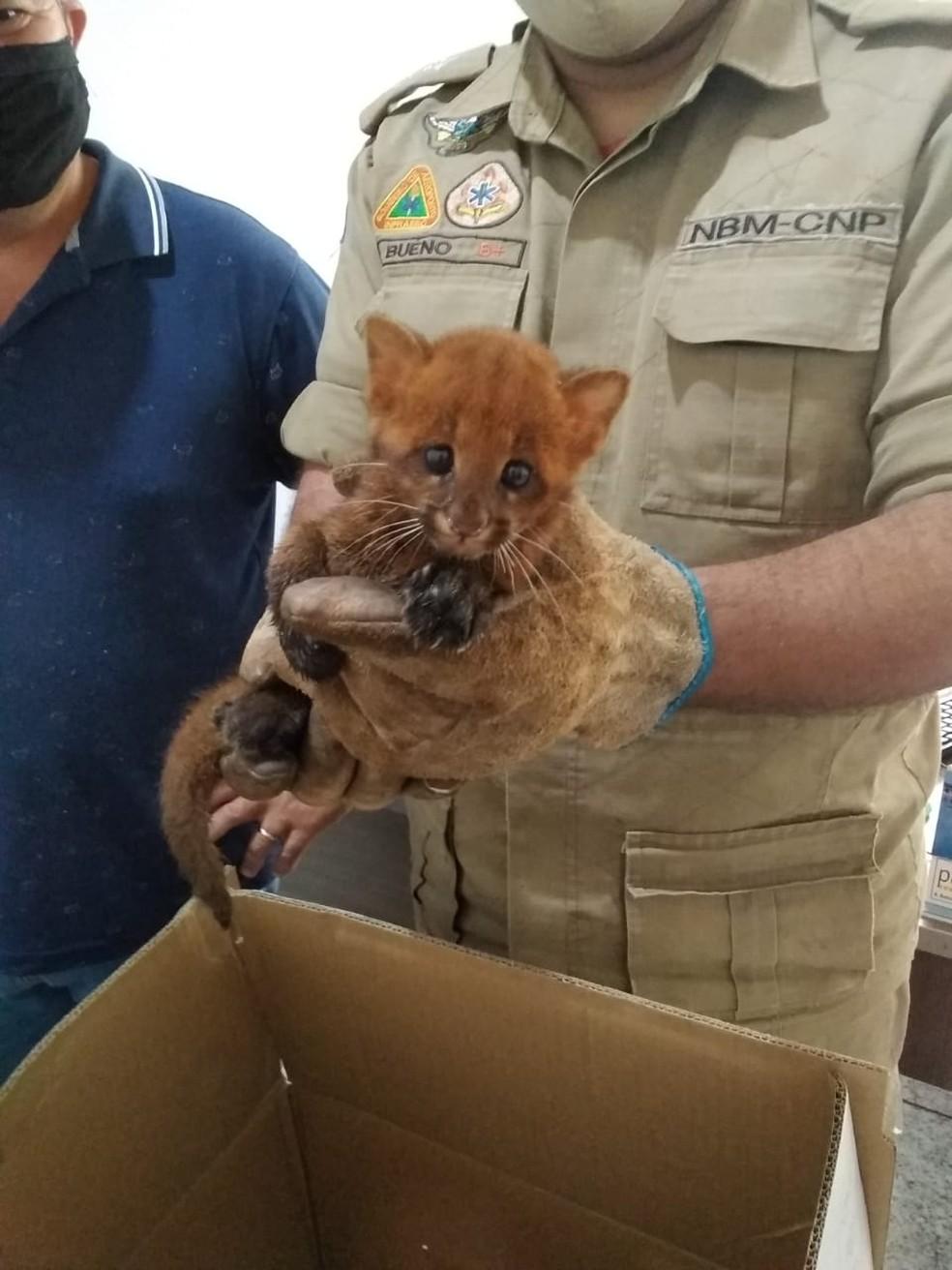 Bombeiro segura filhote de gato-mourisco encontrado em fazenda em Mato Grosso — Foto: Corpo de Bombeiros de Mato Grosso