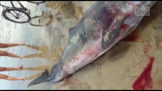Filhote de baleia é encontrado em praia do município de Colares, no Pará