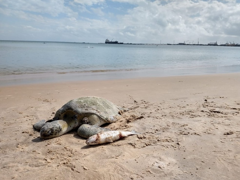 Uma tartaruga morta foi encontrada por banhistas na Praia do Mucuripe, em Fortaleza — Foto: Halisson Ferreira/SVM