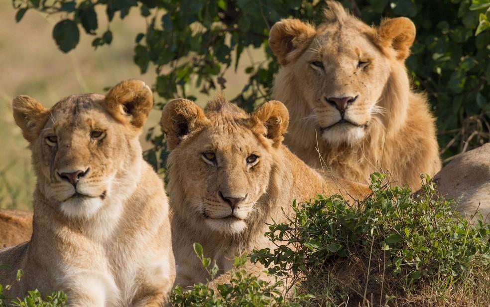 Leões atacaram caçadores de rinocerontes na África do Sul (Foto: Wikimedia/Creative Commons)