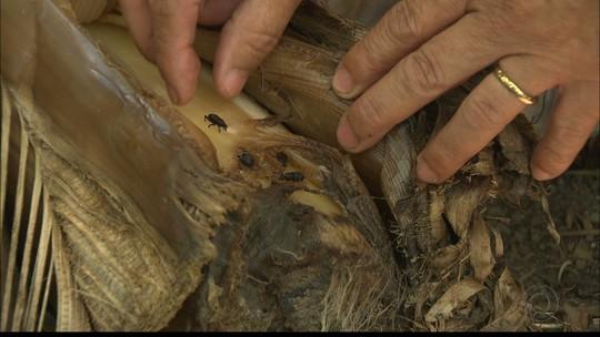 """Paraíba Rural fala sobre a praga """"moleque da bananeira"""" que pode acabar com um bananal"""