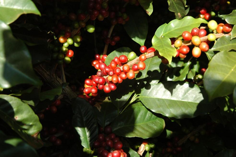 Queda na produção de café impactou resultado da agropecuária no segundo trimestre. — Foto: Divulgação/AEN