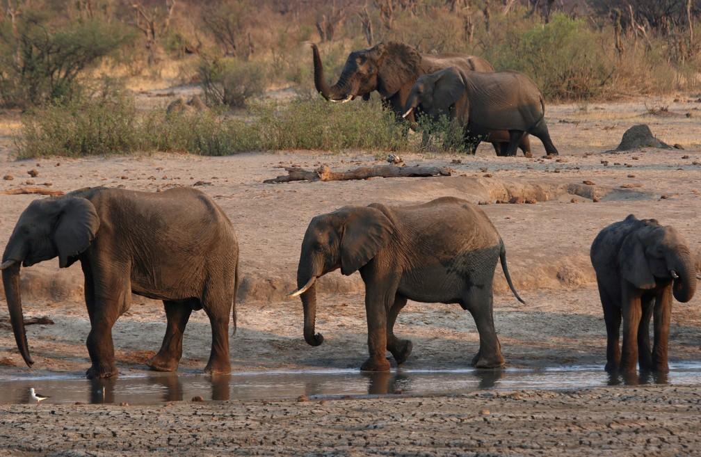 Imagem de elefantes no parque  Hwange, no Zimbábue, em 23 de outubro de 2019 — Foto: Philimon Bulawayo/Reuters