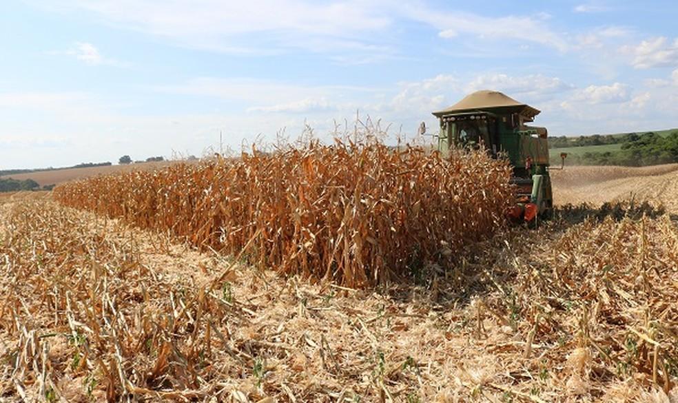 Em Santa Rosa, colheita de milho é acelerada para minimizar problemas causados pela estiagem — Foto: José Schafer / Emater