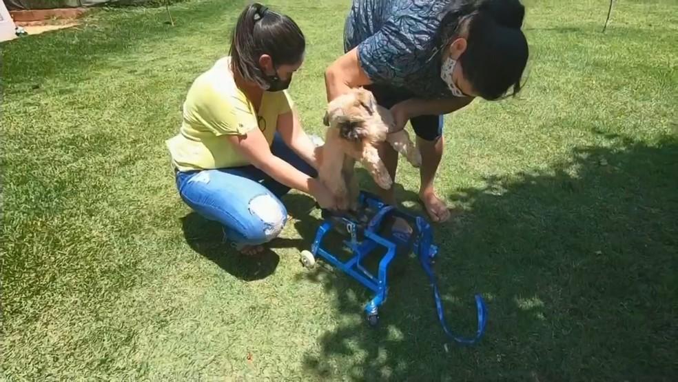 Cadeira ajuda animal a andar em Novo Horizonte — Foto: Reprodução/TV TEM