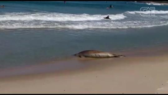 Foca que apareceu nas areias da Praia do Recreio volta para o mar