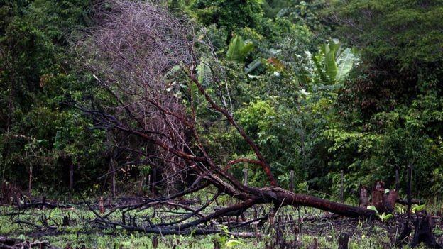 Se a Amazônia perder muitas árvores, ela atingirá um ponto de inflexão, deixará de ser um ecossistema exuberante e se transformará numa savana semiárida (Foto: AFP via BBC News Brasil)