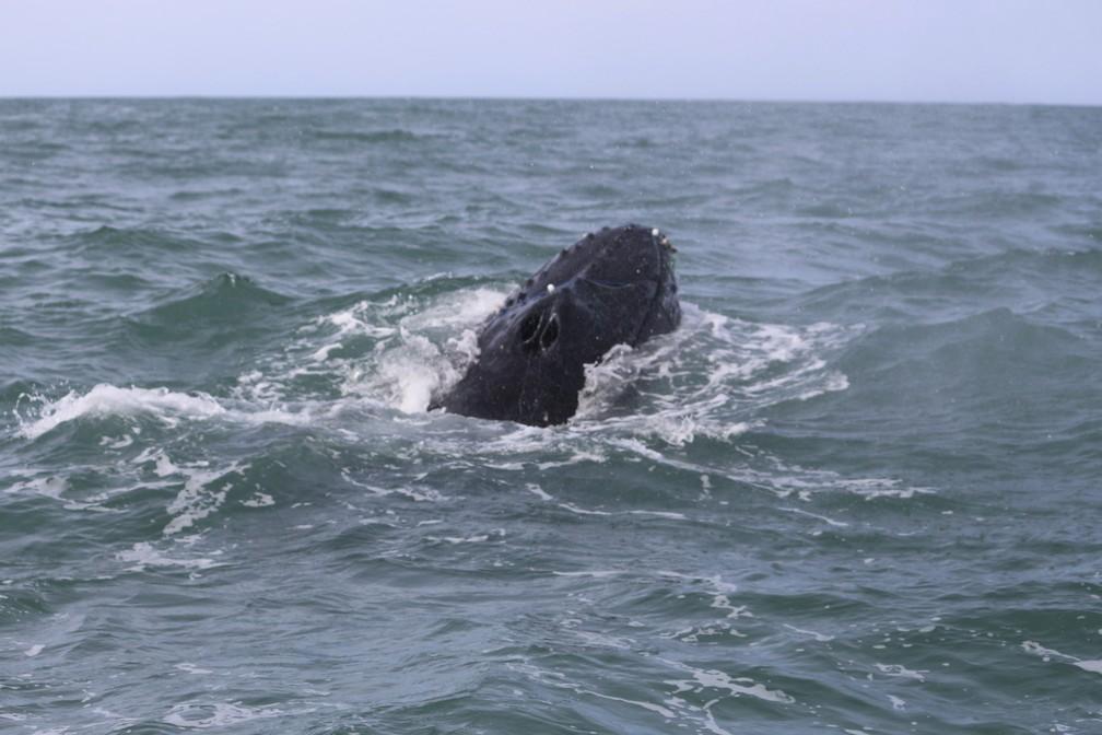 Baleias tinham sido avistadas com materiais presos ao corpo em Florianópolis nos últimos dias  — Foto:  Emanuel Ferreira/R3 Animal