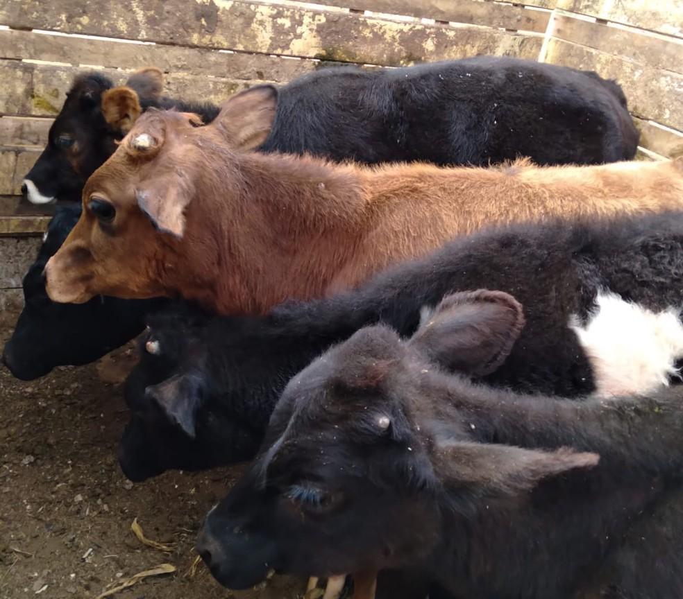Nove cabeças de gado são furtadas em Pilar do Sul — Foto: Redes Sociais/ Reprodução