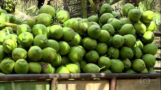 Produtores de coco de Sergipe enfrentam preços baixos e frutas se acumulam nos pés