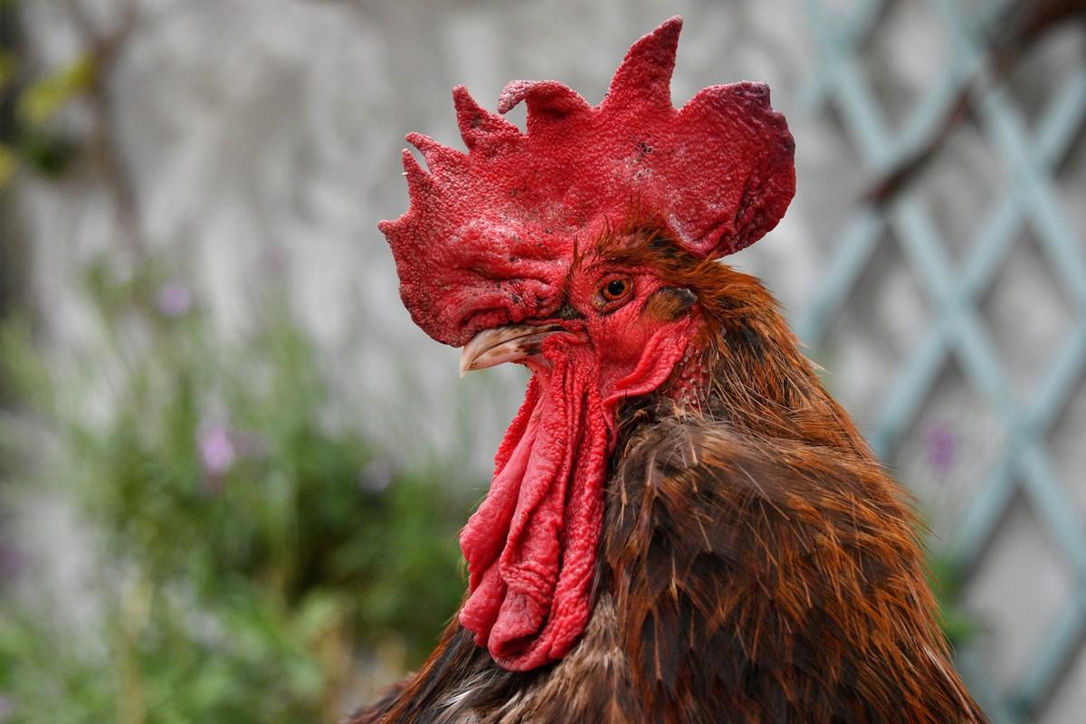 Pandemia leva franceses a promover galinhas a animais de estimação