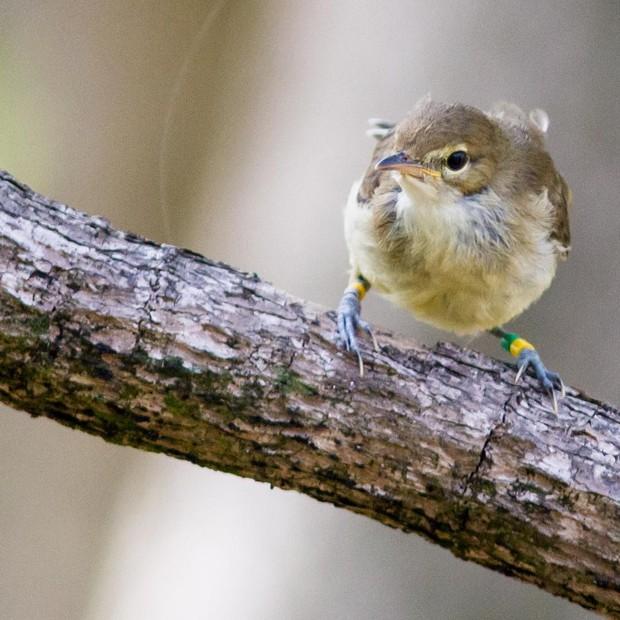 O Seychelles Warbler, espécie arriscada de extinção cuja população agora vem crescendo (Foto: Reprodução/Instagram)