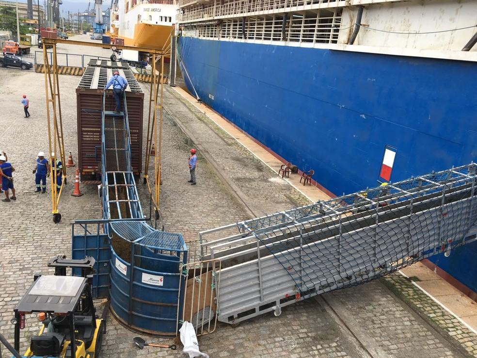 Operação especial foi montada para o embarque de animais em navio no Porto de Santos, SP (Foto: Renan Fiuza/G1)