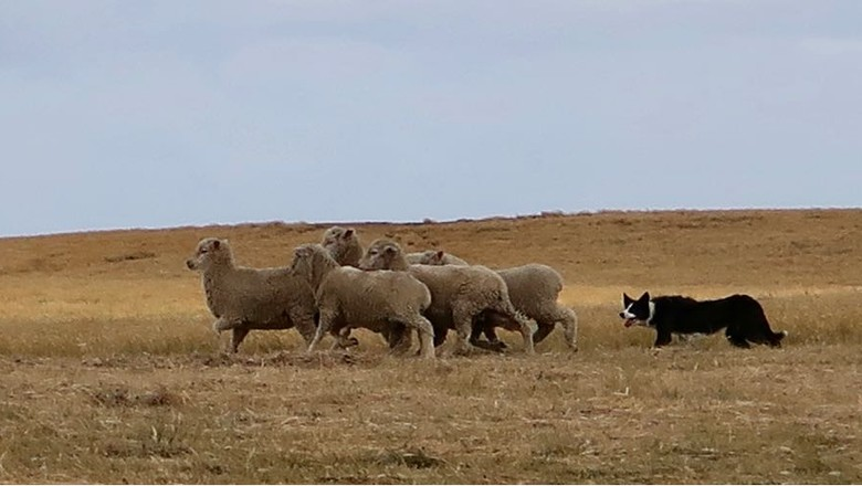 ovelhas-cão-border (Foto: Bruno Blecher)