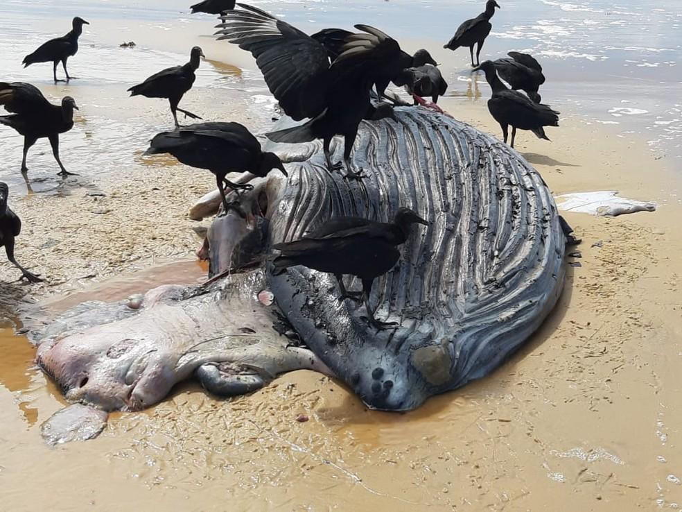 Filhote de baleia jubarte é encontrado morto em Porto Seguro-BA 2