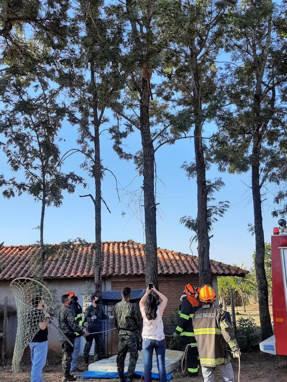 Onça parda é encontrada em cima de uma árvore em hípica na zona rural de Marília (SP) — Foto: Anderson Camargo/ TV TEM