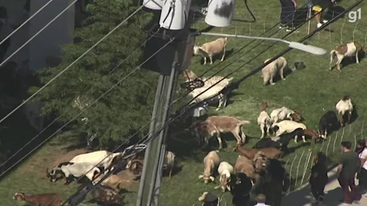 Cabras fogem de pastagem e são encurraladas em bairro de luxo nos EUA; veja VÍDEO