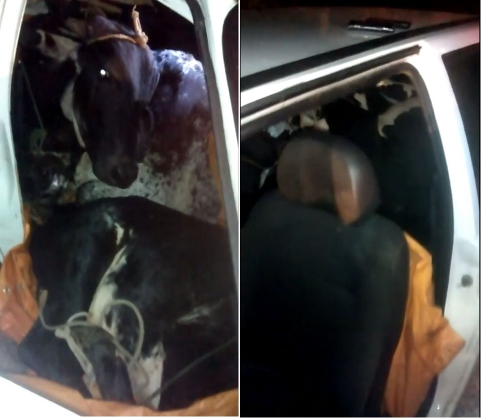 Animais eram transportados de maneira improvisada dentro do veículo (Foto: Portal Mix Vale/Reprodução)