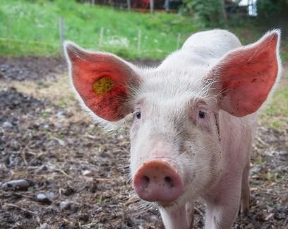 Por que o novo vírus da gripe encontrado em porcos tem potencial pandêmico