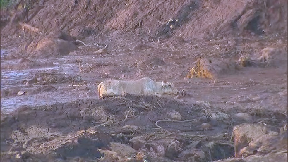 Vaca presa na lama da barragem da Vale em Brumadinho — Foto: Reprodução/TV Globo