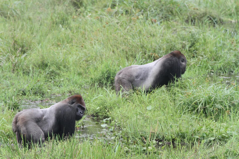 """Dois machos """" de costas prateadas"""", que são dominantes de dois grupos de gorilas.  (Foto: WILDLIFE CONSERVATION SOCIETY)"""
