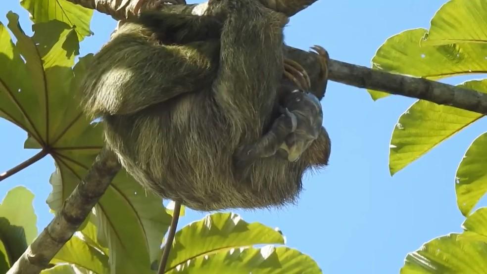 A fêmea da preguiça dá à luz a um filhote por gestação — Foto: Reprodução video Steven Vela