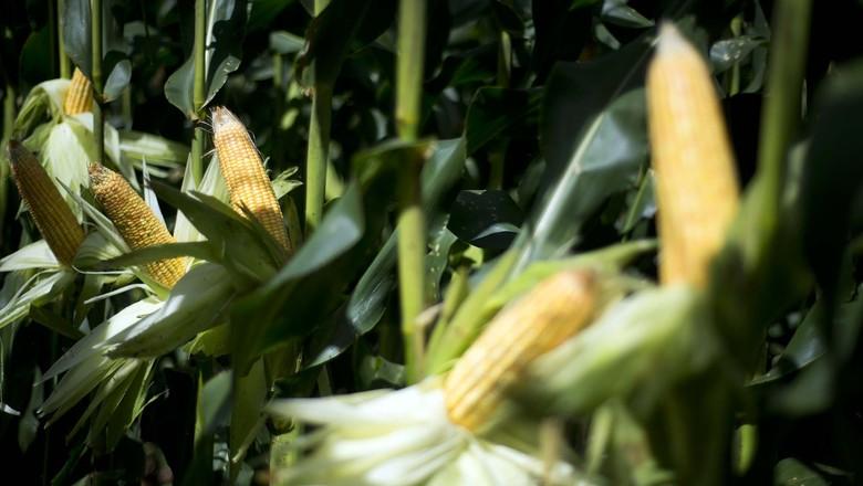 agricultura-milho-goias (Foto: Emiliano Capozoli/Ed. Globo)