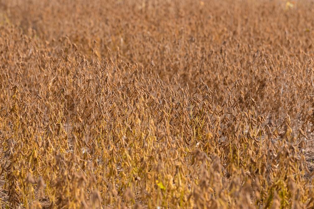 A soja dourada é vizinha da Floresta Nacional do Tapajós — Foto: Marcelo Brandt/G1