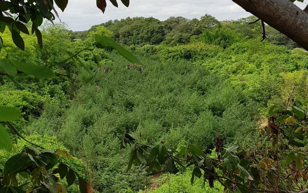 Cerca de 25 mil pés de maconha foram encontrados pela polícia (Foto: Divulgação/SSP-BA)