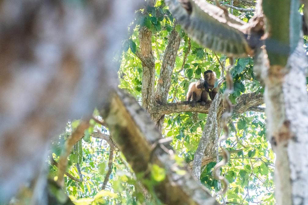 Macacos perto da Pousada Recanto do Dourado, que fica às margens do Rio Paraguai, a cerca de 50 minutos de barco de Cáceres (MT) — Foto: Eduardo Palacio/G1