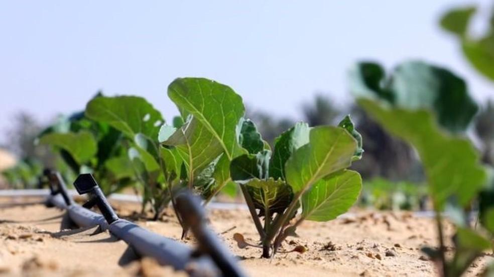 A nova tecnologia reduz pela metade a água necessária para cultivar alimentos no deserto (Foto: BBC)