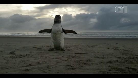 Pinguim é encontrado em praia de Matinhos; veja o VÍDEO