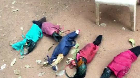 Polícia resgata 72 aves e autua 11 pessoas em rinha de galo em fazenda de Ibirá