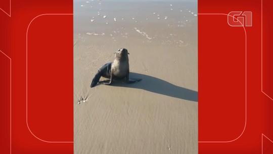 Lobo-marinho é encontrado na praia de Capão da Canoa, no Rio Grande do Sul