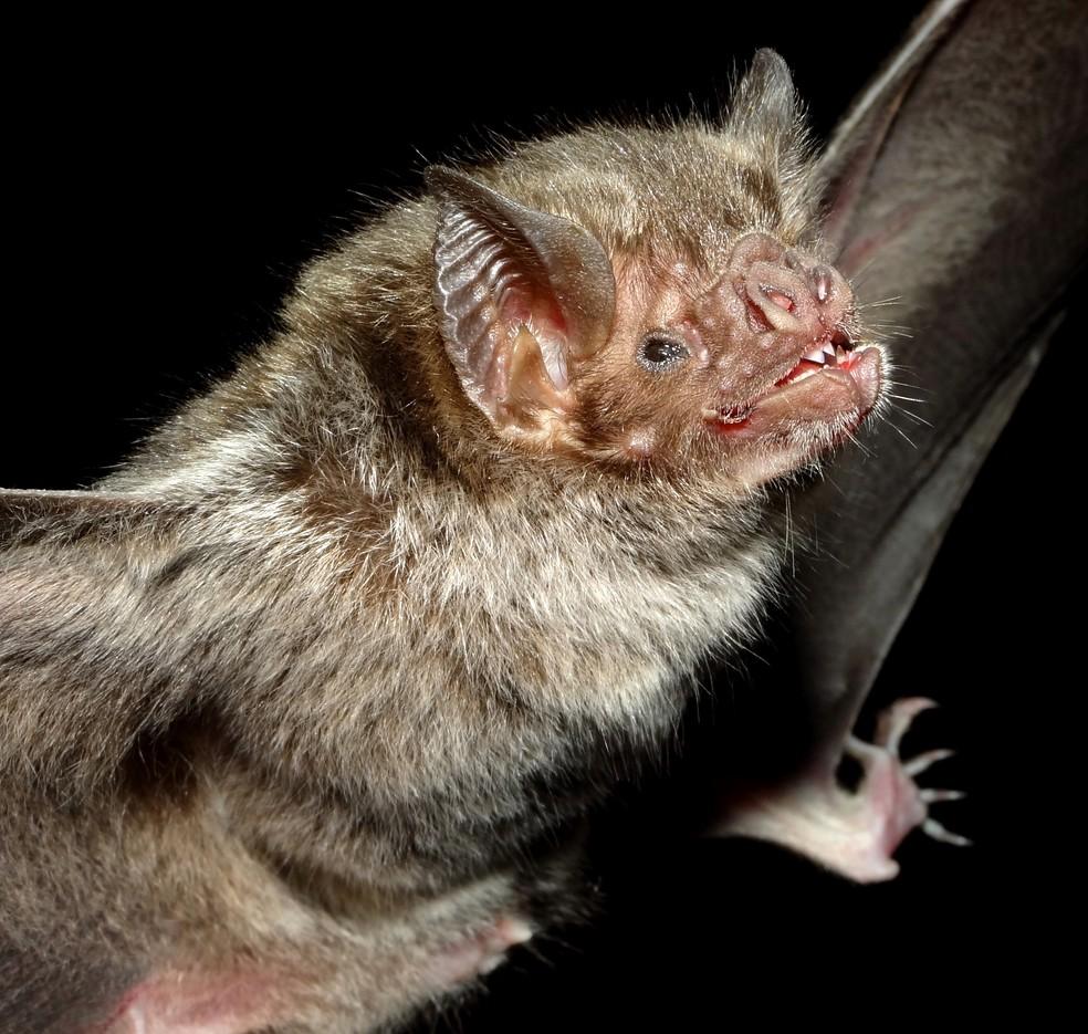 Os morcegos-vampiros desempenham um papel fundamental para a ciência — Foto: Vinícius C Cláudio