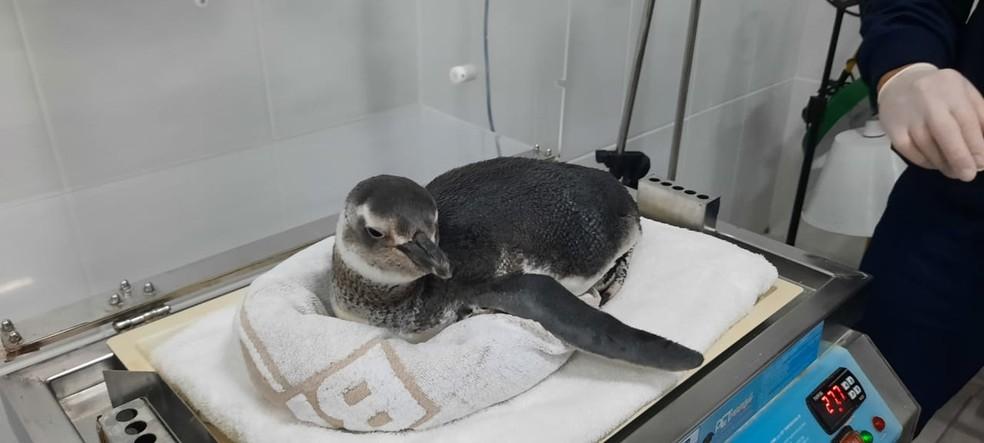 Pinguim sendo atendido após resgate em Florianópolis  — Foto: Amanda Fernandes/R3 Animal