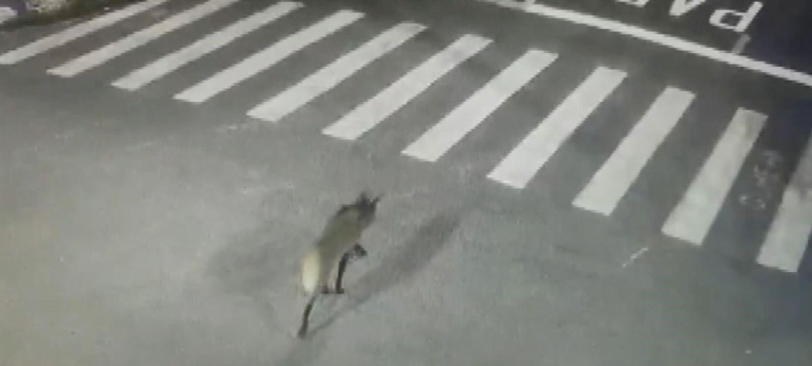 Câmeras de segurança flagram lobo-guará passeando pelo centro de Jaguariúna; VÍDEO